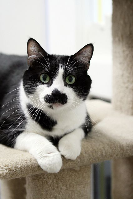 Meow Meow Edb 3 06 Meow Meow Is About 5 Years Old With Short Black And White Fur A Funny Little Mustache She Was Found Abandoned In A Wa Cat Adoption Cats