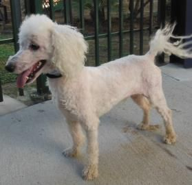 Texas Urgent Ozzy Is A Neutered 4yo Poodle In Need Of A Loving Adopter Rescue At Houston Humane So Humane Society Pet Search World Wildlife Foundation