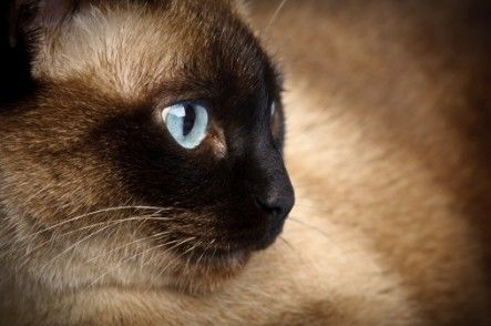 Siamese Cat I Want One Cats Siamese Cats Cat Questions