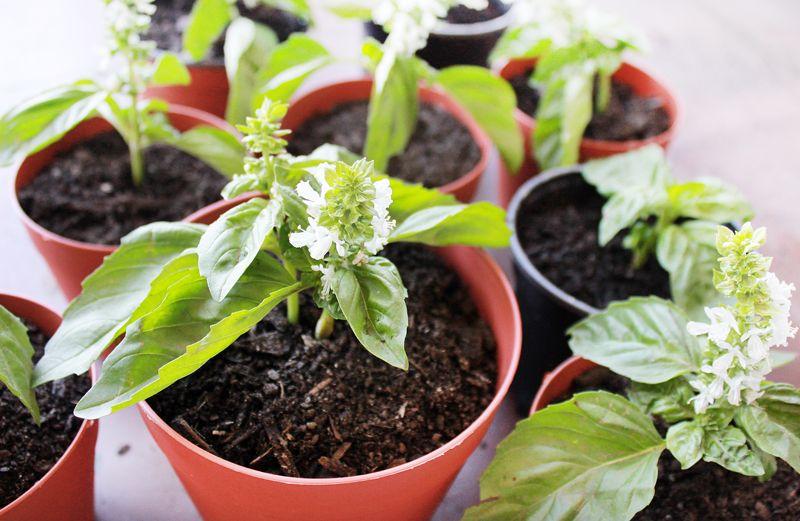 Aprenda cómo plantar albahaca en casa, con y sin semillas.