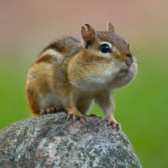 Can chipmunks understand Armenian?