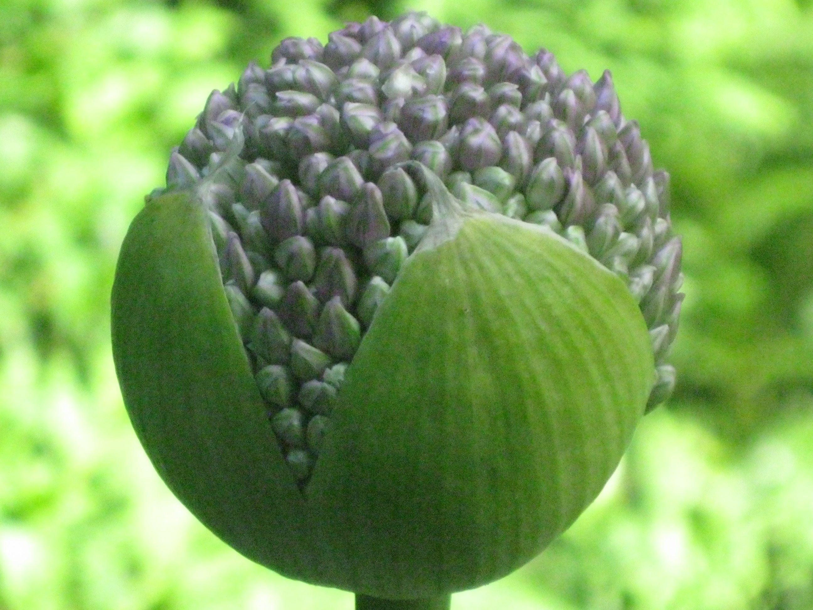 Allium in anticipation