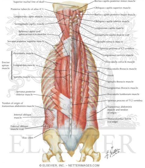 Paraspinal muscles anatomy