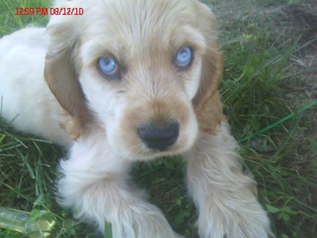 A Blue Eyed Cocker Pup Rare Cocker Spaniel Pup Blue Eyes