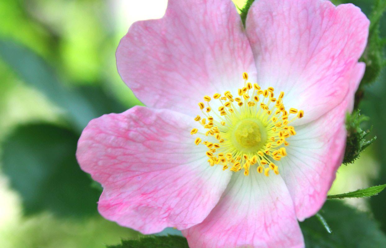 Bach Flower Cards Susanne Winberg S Bach Flower Oracle Cards Flower Essences Flowers Flower Therapy