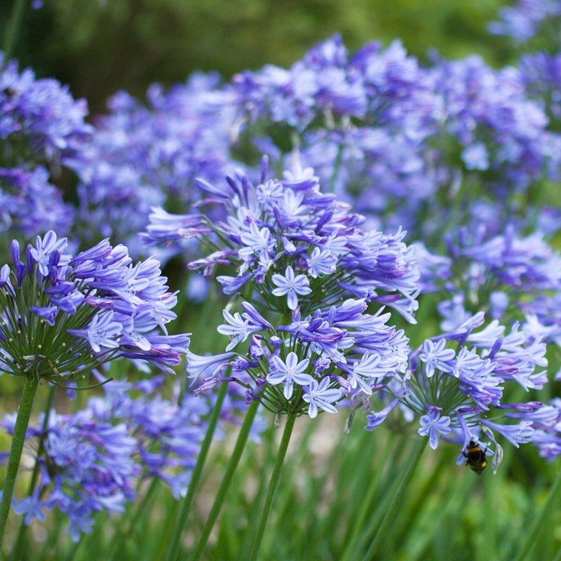 Agapanthus Blue Storm African Lily Agapanthus Blue Agapanthus African Lily