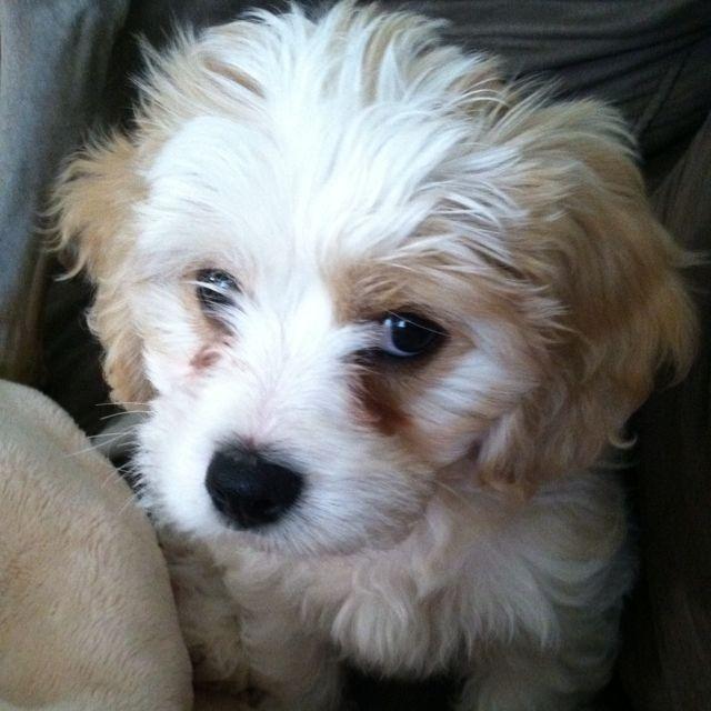 Meet Blanche My 10 Week Old Cavachon Cavachon Teacup Puppies Pup