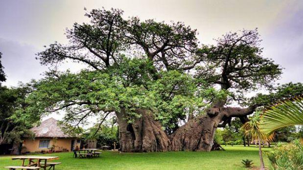 Disfruta de una cerveza en el corazón de un enorme árbol vía @elcomerciope  http://elcomercio.pe/vamos/mundo/disfruta-cerveza-corazon-enorme-arbol-noticia-1754312