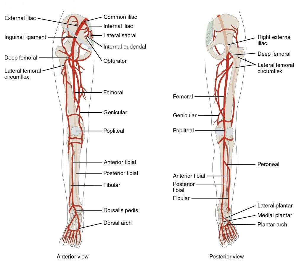 small resolution of the left panel shows the anterior view of arteries in the legs and the right panel shows the posterior view