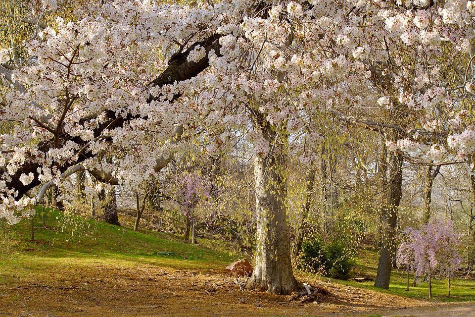 Cherry Blossom Trees Branch Brook Park Essex County New Jersey Cherry Blossom Tree Blossom Trees Tree