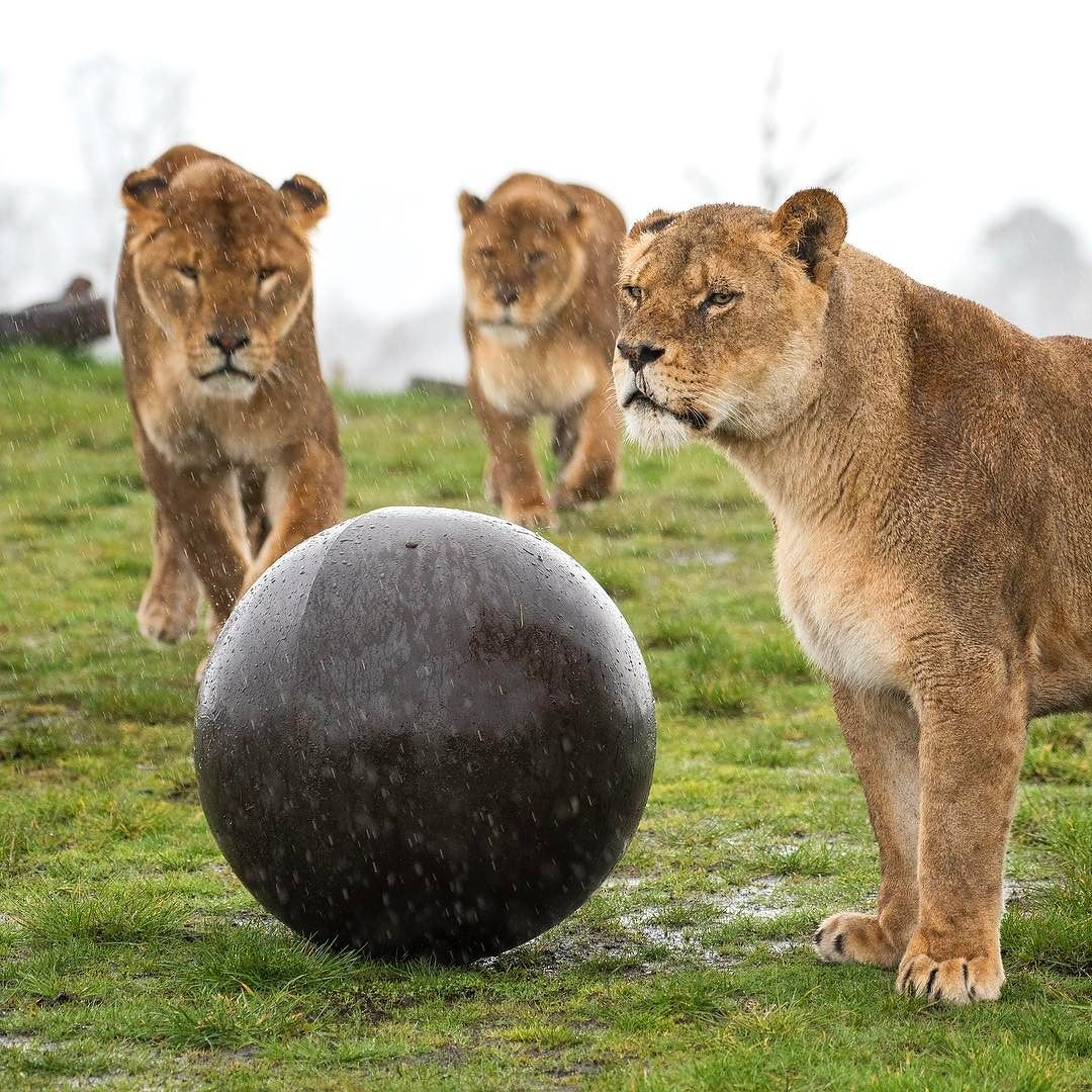 Our Lionesses Enjoy Their Zogaball Enrichment Whatever The Weather Wmsp Lion Lioness Lions Animals Animalenrichment En Safari Park Animals Safari