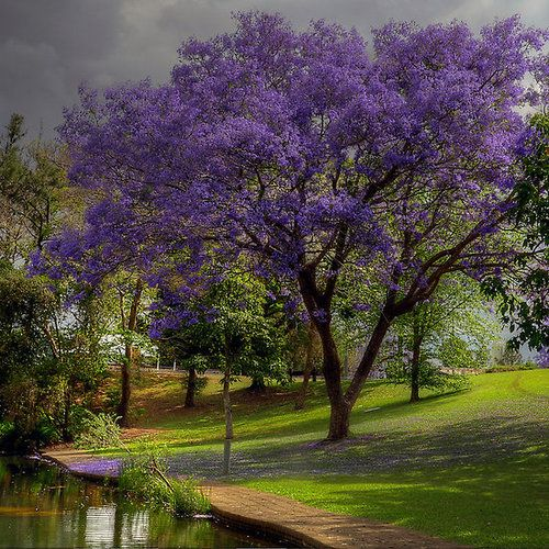 ~~Jacarandas Festival, Park Grafton | Grafton on the north coast of New South Wales, Australia by Judy White~~