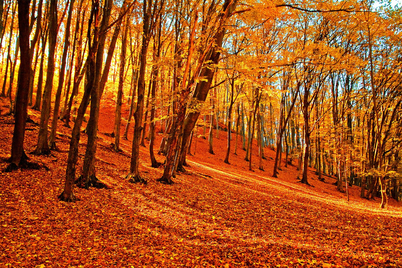 Autumn Forest Wallpaper Mural Autumn forest, Forest