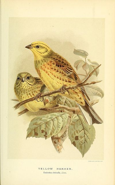 Coloured figures of the birds of the British Islands v.4 London :R. H. Porter,1885-1897.