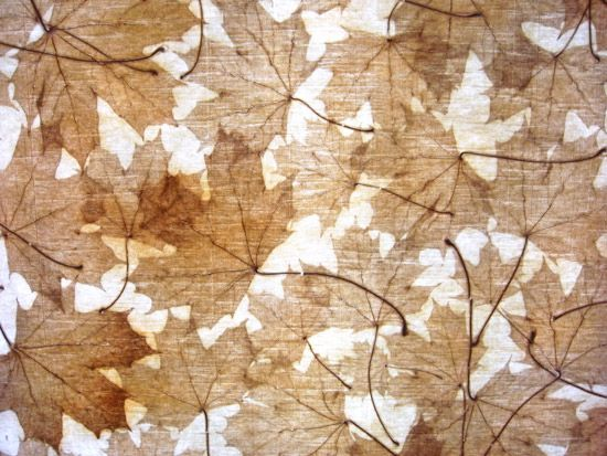 """Acer Platanoides 