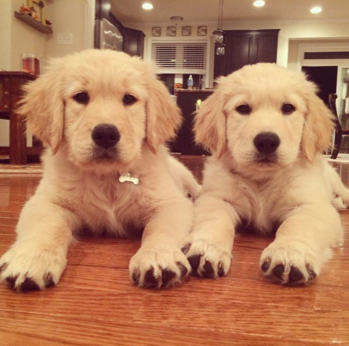 We Are Champ And Charlie Brother And Sister From West Virginia Born On July 7th 2014 We Are Professionals When It Comes T Golden Retriever Super Cute Puppies