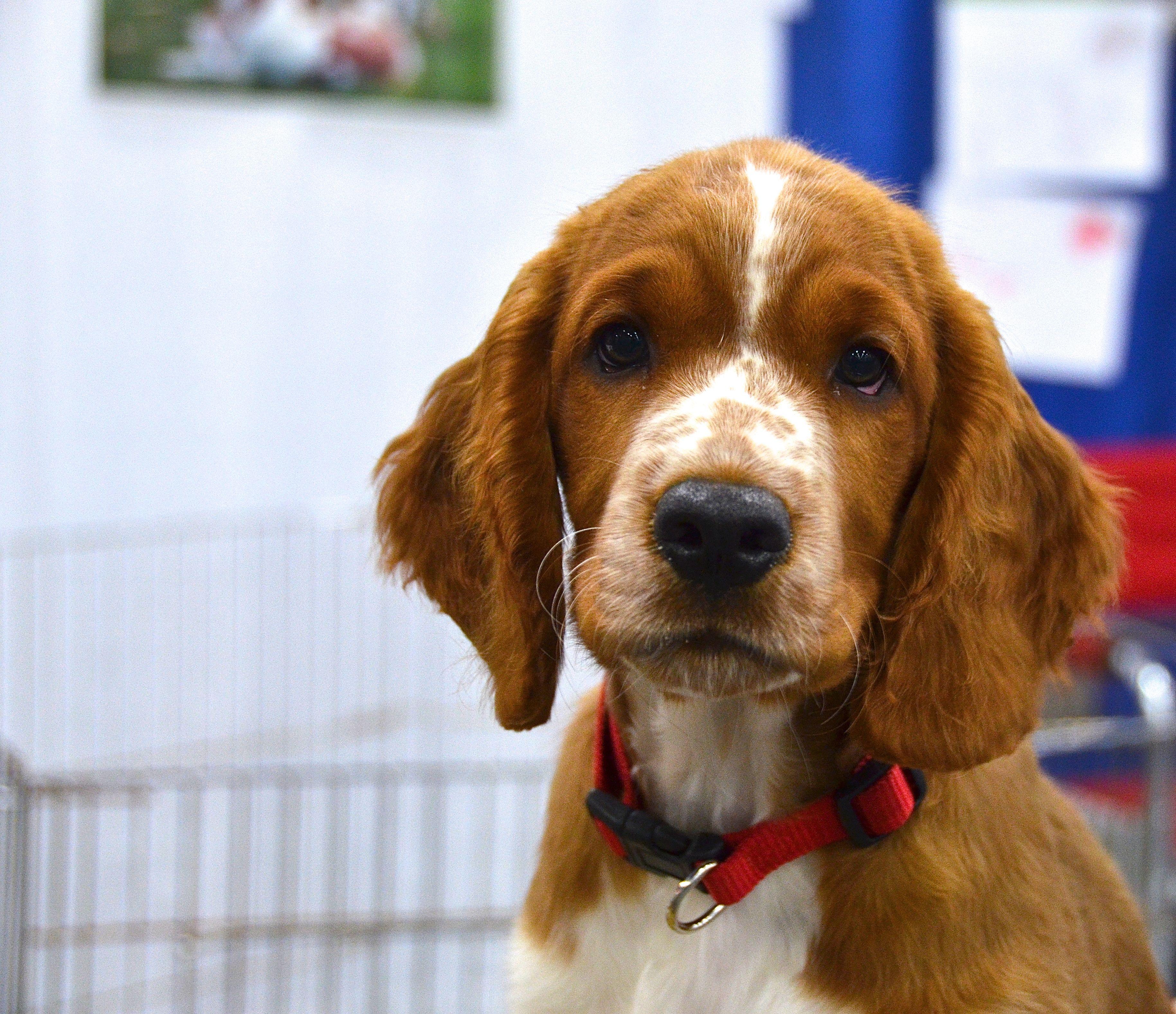 Welsh Springer Spaniel With Images Welsh Springer Spaniel Spaniel Puppies Dog Love