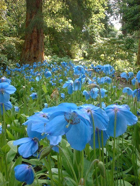 ~~Meconopsis at Dawyck ~ Himalayan Blue Poppy at Dawyck Botanic Gardens, Scotland by Brunton H~~ #botanicgarden