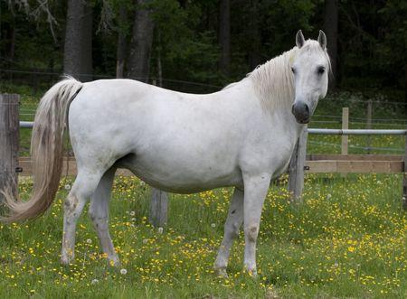 189 Bianca II.    Mare family: Africa  Stallion line: Neapolitano Lipizzan stud