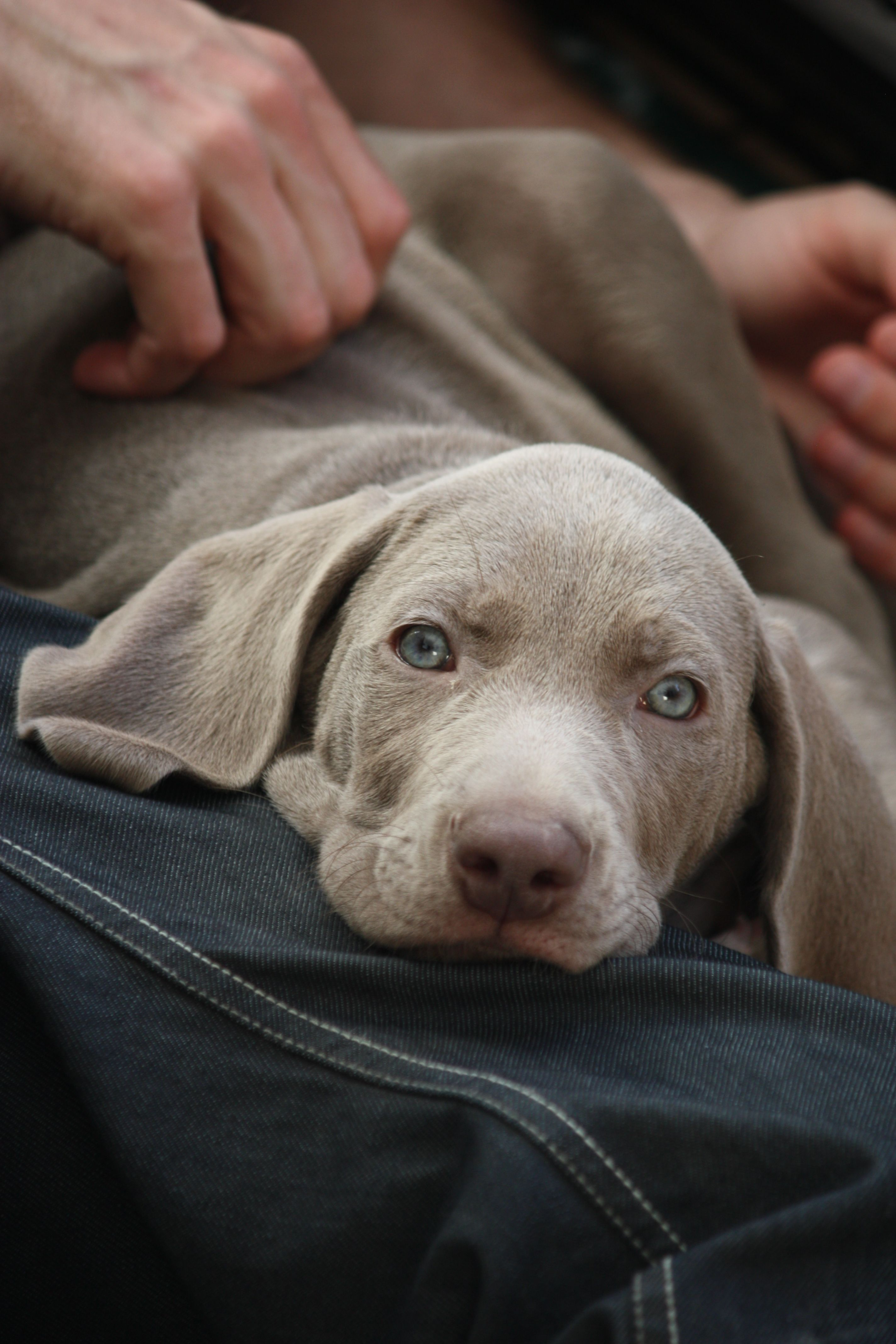 Weimaraner Puppy Male 8 Weeks Old First Day At Home