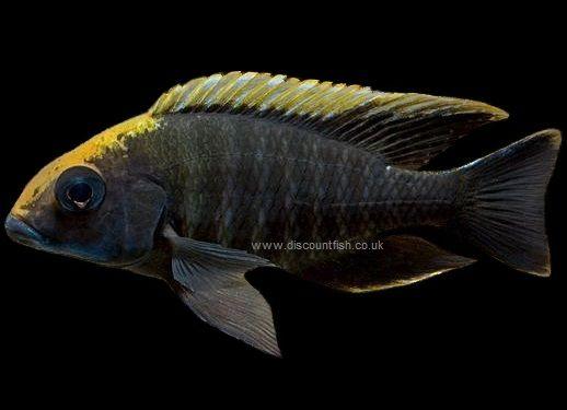 Cichlid Sulphur Head Aulonocara Jpg 518 375 Pixels Cichlids Fish Pet Sulphur