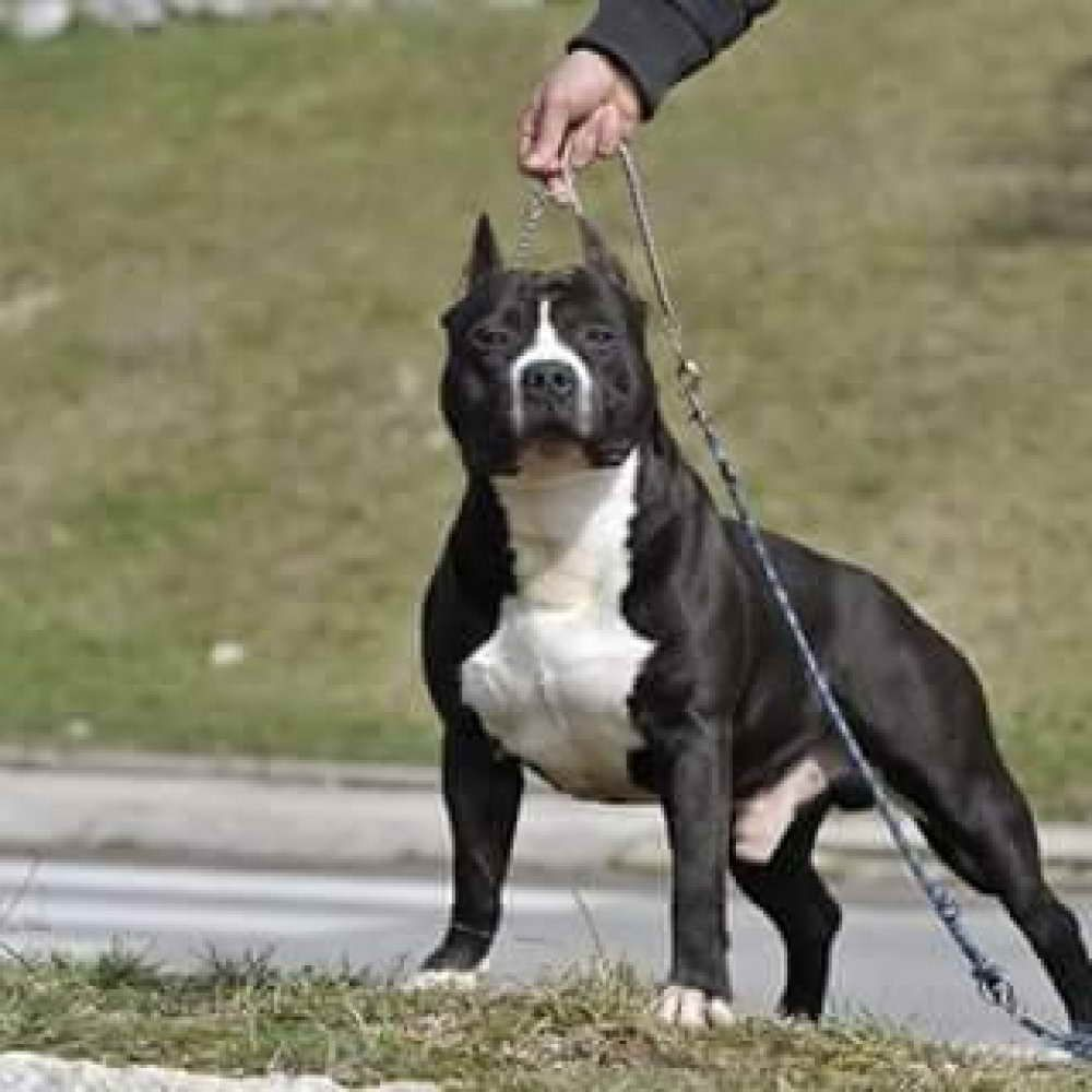 american staffordshire terrier for sale | the loyal pets | american