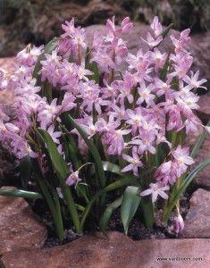 Wiosenne Kwiaty Cebulowe Krokusy Tulipany Narcyzy Glory Of The Snow Bulbous Plants Planting Bulbs