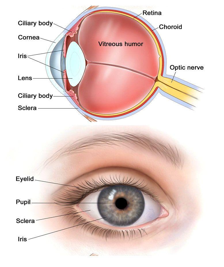 Human Eye Eye Diagram Charts Diagrams Graphs Human Eye Diagram Diagram Of The Eye Biology Diagrams