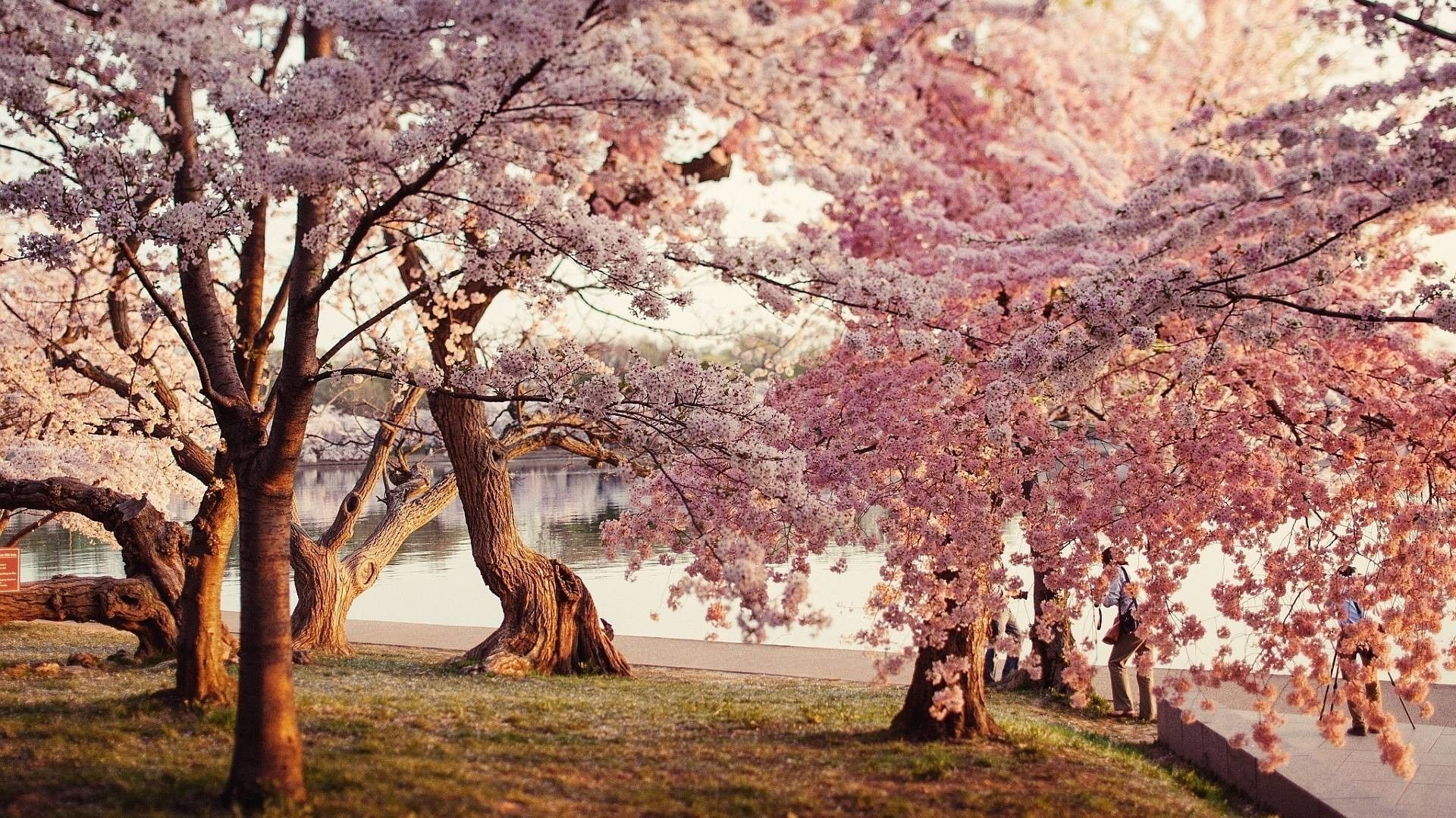 10 Most Popular Cherry Blossom Wallpaper Desktop 1920X1080