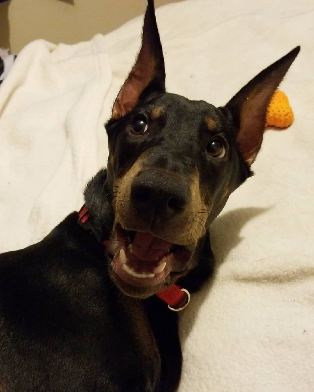 The Face I Make When Mom Leaves Me At Home To Go With Her Friends Doberman Dobermanpuppy Dog Dogsofinstagram Pets Puppy Doberman Puppy Dog Mom Doberman
