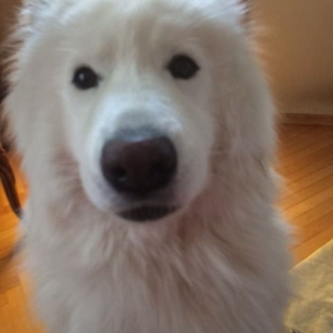 Top Samoyed Chubby Adorable Dog - b1c5a0e40f0bebf3a519af6a7d6bf1e6  Gallery_662325  .jpg