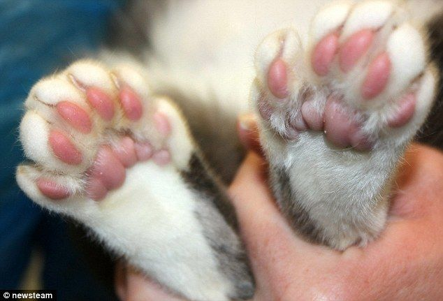 Not Purr Fect But Still Very Cute The Six Toed Litter Of Kittens Kittens Polydactyl Cat Cats For Sale