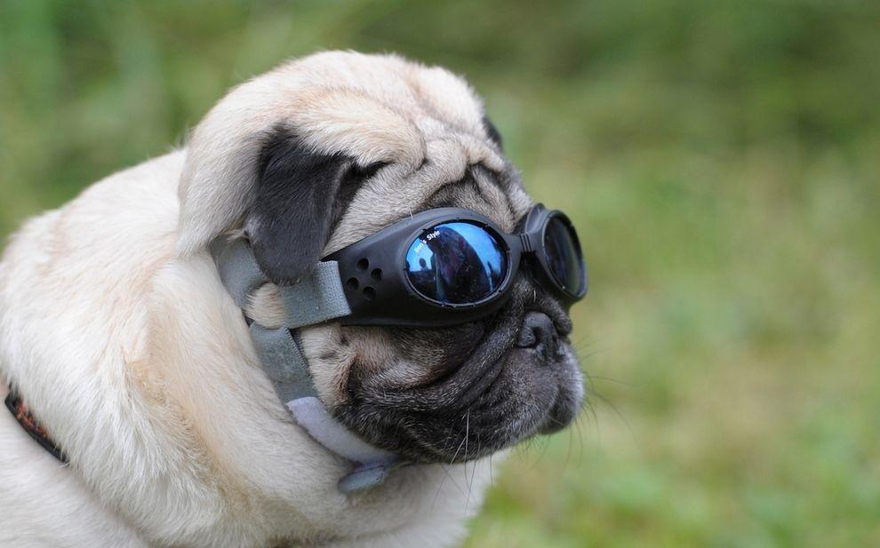 The Great Pug Race Pugs Pugs Funny Pugs And Kisses
