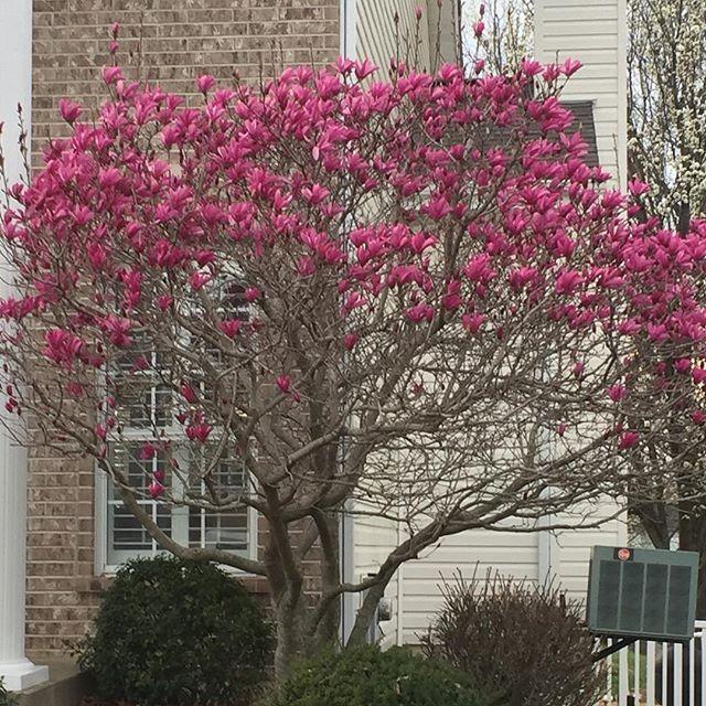 Pink Flowering Tree In Missouri Pink Flowering Trees Flowering Trees Bloom
