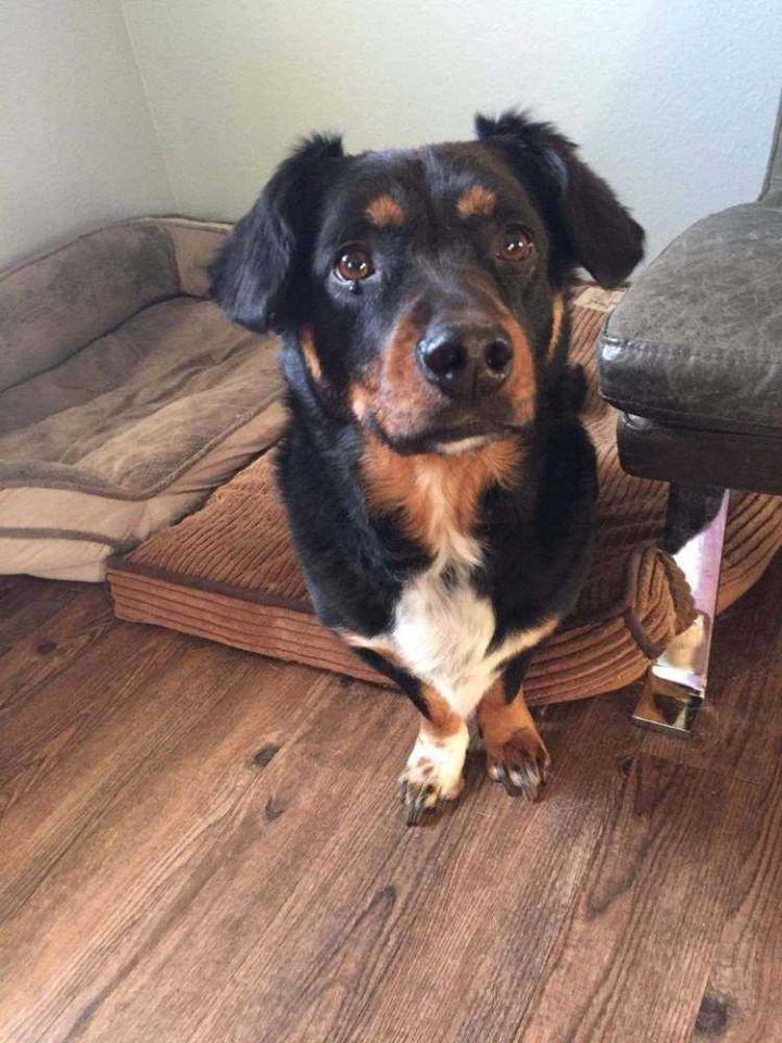 Adopt Sophie on Terrier mix dogs, Australian terrier