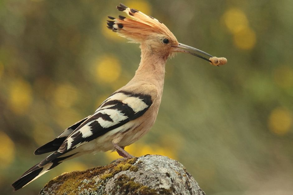 North West African Bird Eurasian Hoopoe Saved From Rural