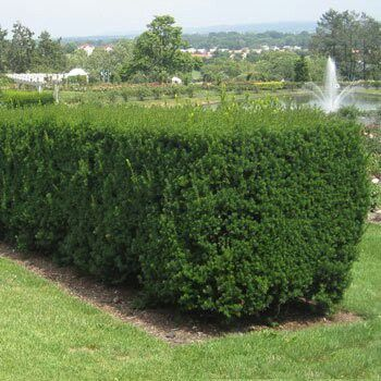 easy hedges for zone 7 landscaping pinterest green garden and
