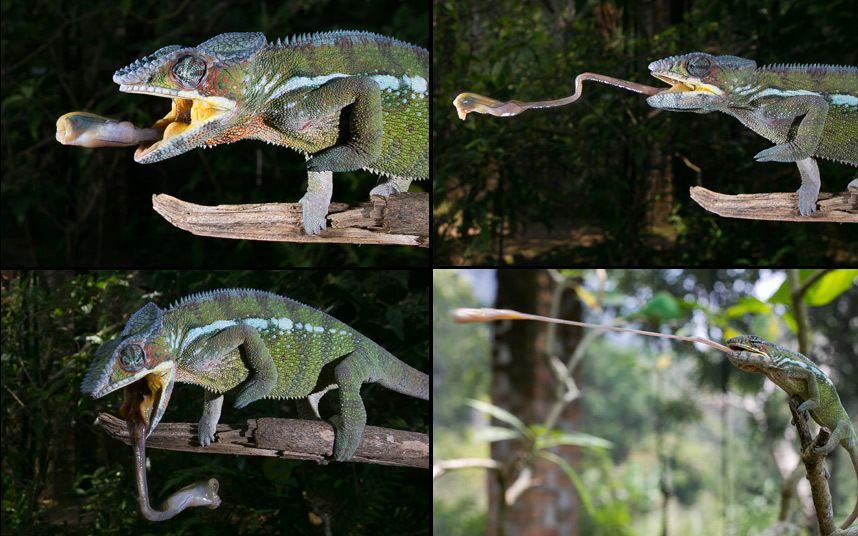 Un camaleón pantera proyecta su lengua para capturar un saltamontes en Marozevo, Madagascar (Nicolas Reusens, 2014)