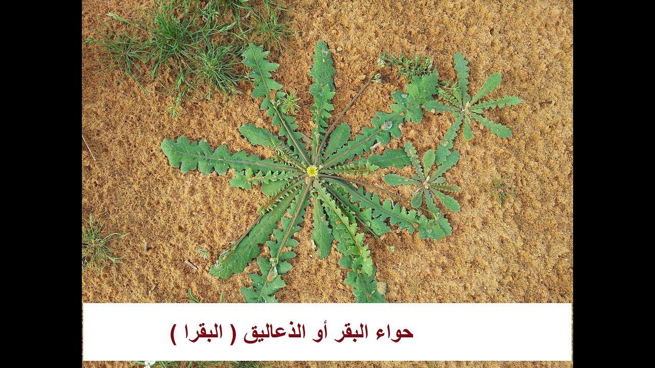 حواء حوى نبات صحراوى مفيد لمرضى الكبد Launaea حلقة 376 Plants Home Decor Decor