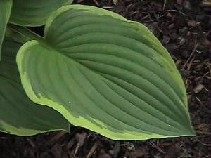 Ugh I Didn T Know That Slugs Ate My Hostas Another Useful Link