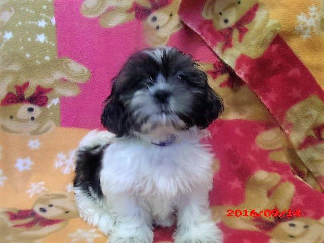 Shih Tzu Puppy For Sale In Paterson Nj Adn 23471 On Puppyfinder