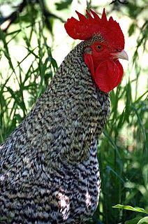 French hen ~ bonjour!!