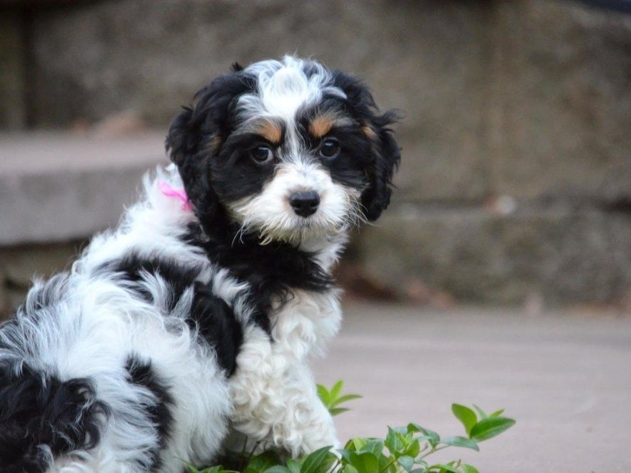 Tri Color Springerdoodle Sproodle Puppies Puppies For Sale