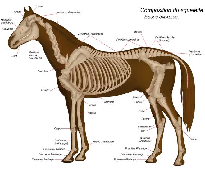 Célèbre Anatomie du cheval — Wikipédia | Exposé Anakin Zèbre | Pinterest  AI61