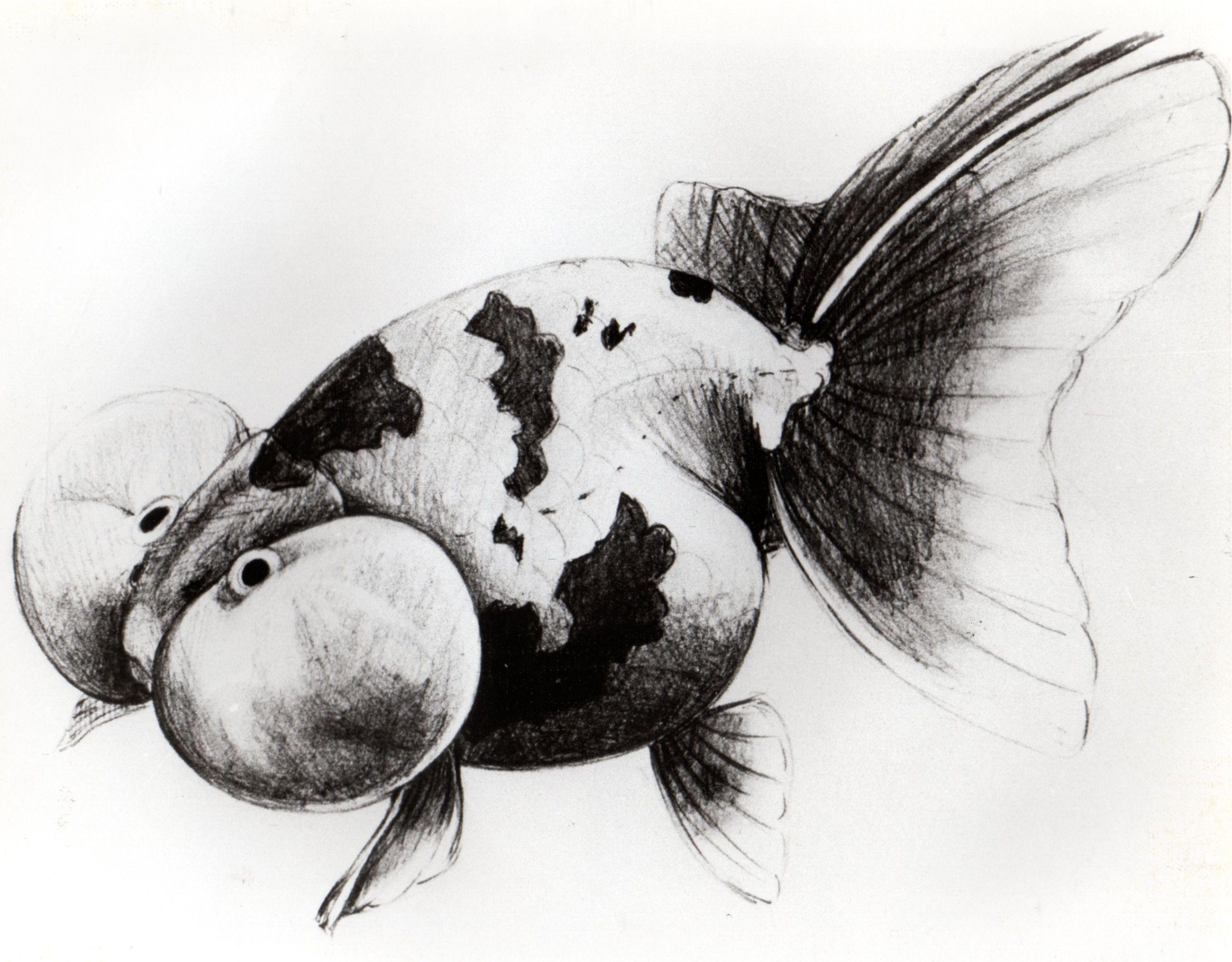 Bubble Eye Goldfish ปลาทอง