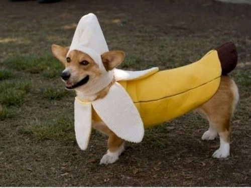 Banana corgi. Move along people, there ain't nothing to see here...