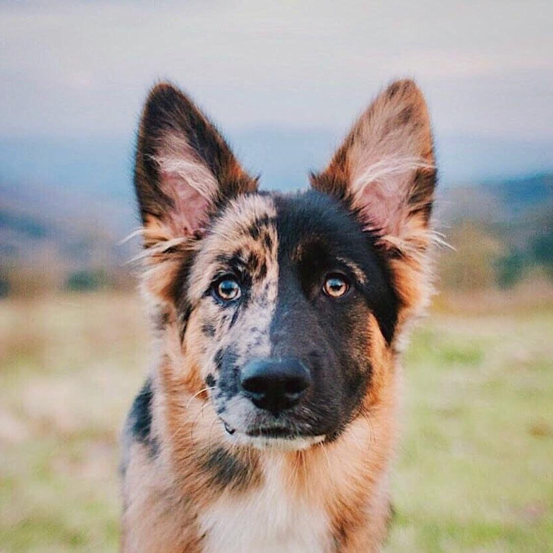 German Shepherd Australian Shepherd Mix Germanshepherd Pretty Dogs Dogs Dog Mixes