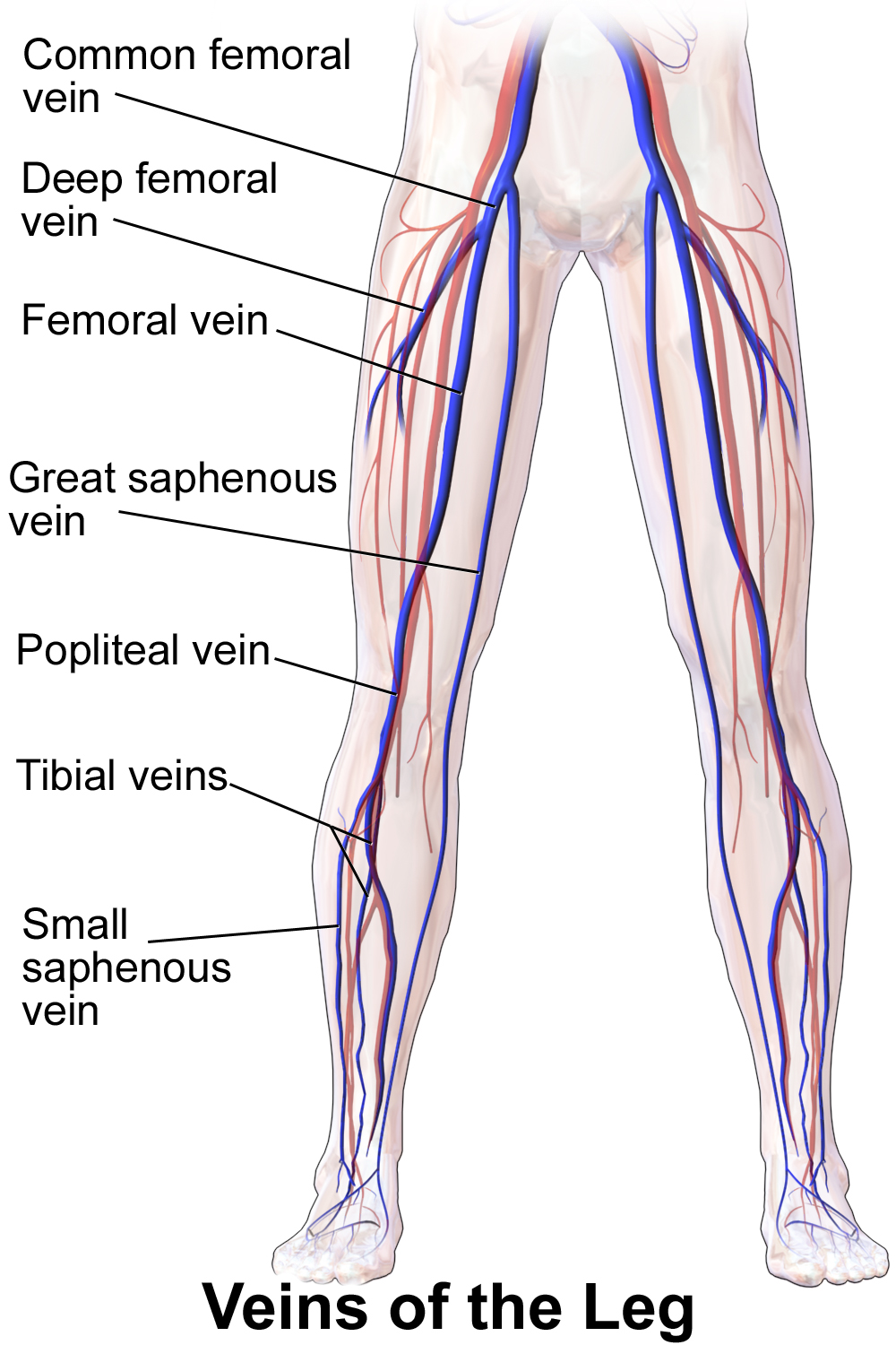 Posterior tibial vein - Wikipedia, the free encyclopedia | work ...