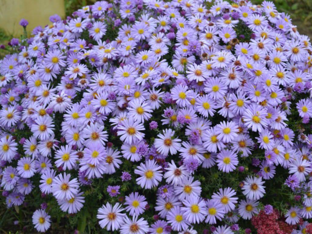 Aster Amellus Italian Aster World Of Flowering Plants Plants Planting Flowers Perennials