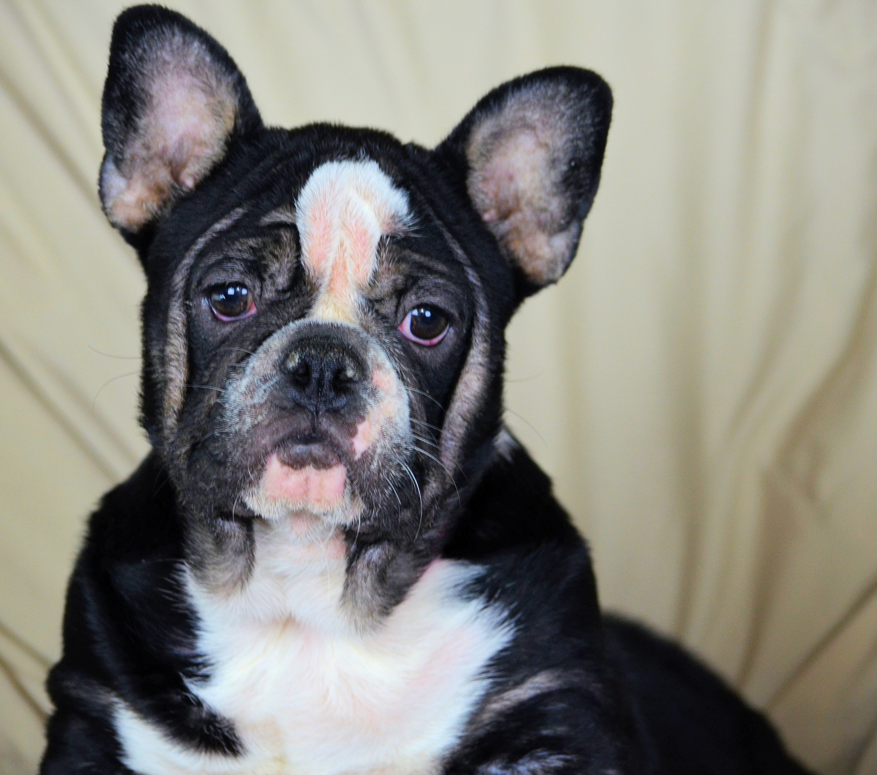 French Bulldog dog for Adoption in Bon Carbo, CO. ADN